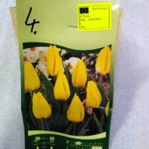 Tulipán Nr.4