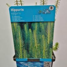 Hippuris vulgaris