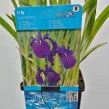 Iris ensata Kaempferi blue