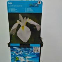 Iris ensata Kaempferi white