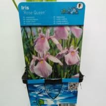 Iris laevigata Rose Queen