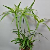 Cyperus papyrus Green Gold