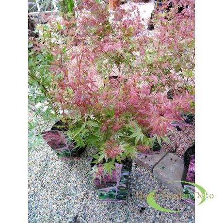 Acer palmatum Phoenix