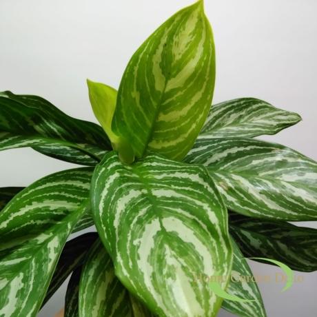 Aglaonema stripes