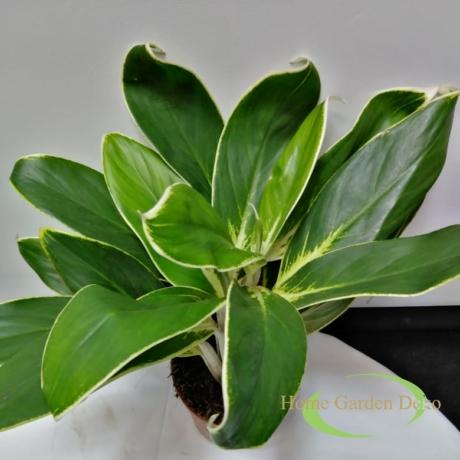 Aglaonema albomarginata (FLN011)