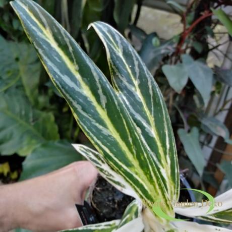 Aglaonema White Hybrid