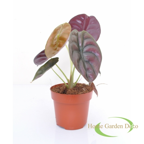 Alocasia cuprea Red Secret
