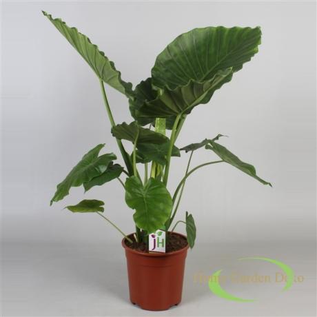 Alocasia Gagaena