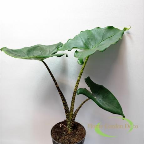 Alocasia Zebrina mini