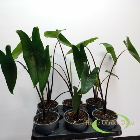 Alocasia zebrina Black Zebrina
