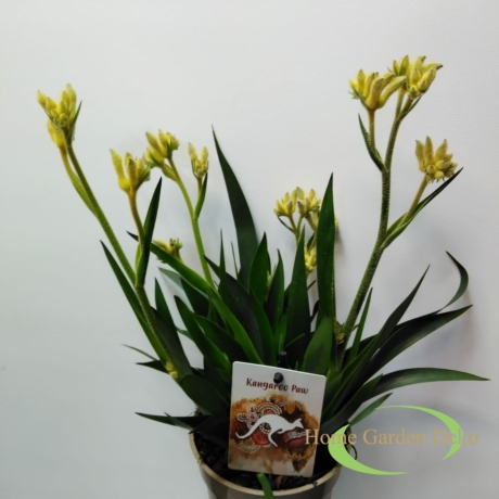 Anigozanthos beauty yellow