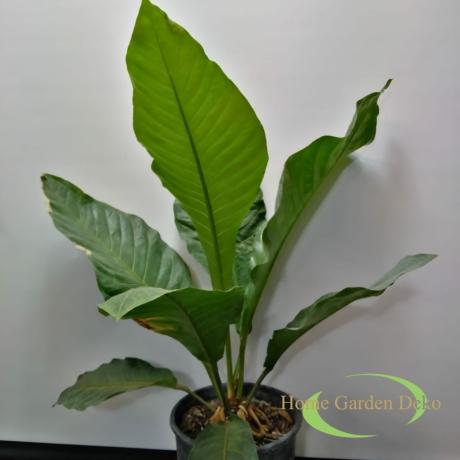 Anthurium Botanical King Green Star