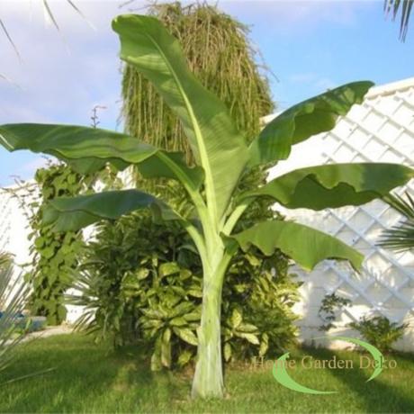 Ensete glaucum / Havasi banán