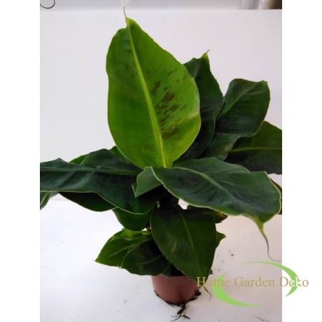 Musa acuminata Dwarf Cavendish