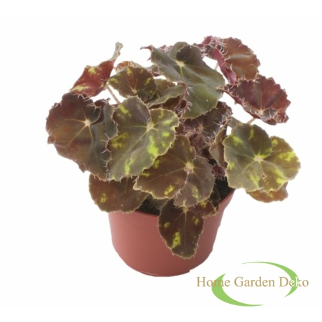 Begonia rex Boweri brown tiger