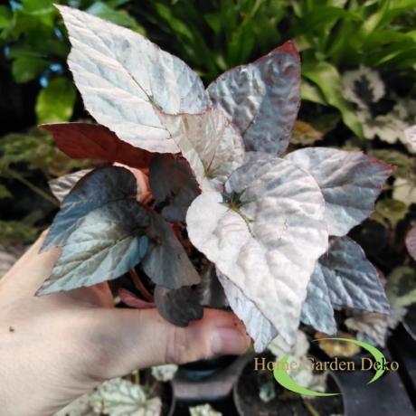 Begonia bolero