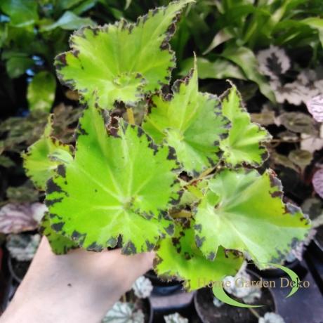 Begonia rex jive