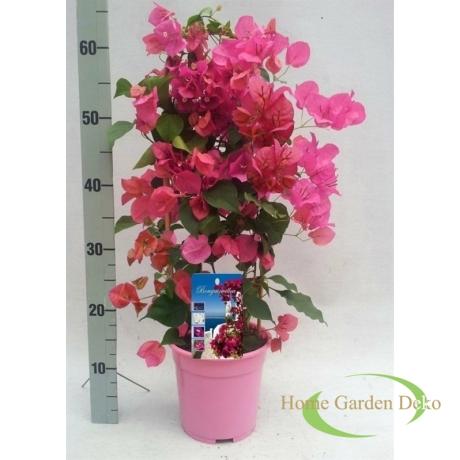 Bougainvillea rózsaszín