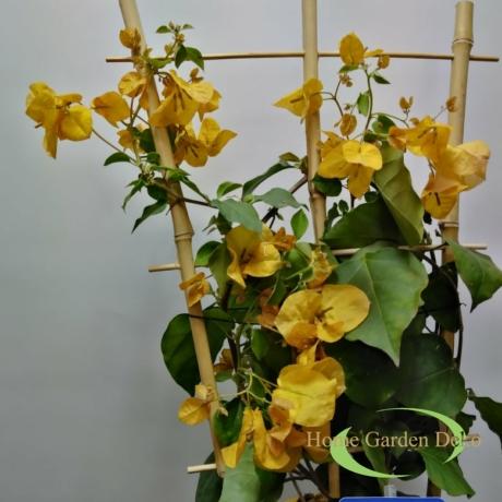 Bougainvillea sárga