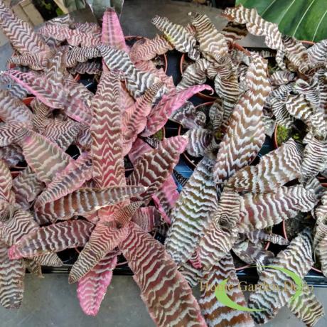 Cryptanthus Zonatus mix / Levélcsillagok vegyesen