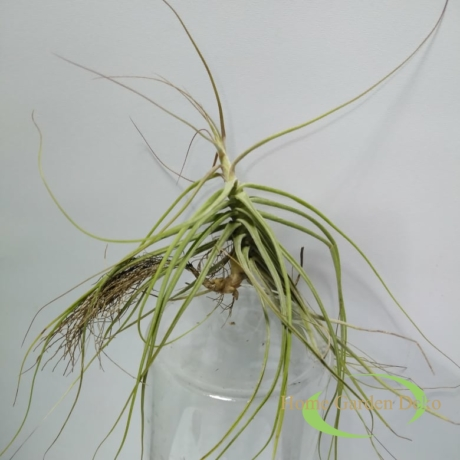 Tillandsia schiedeana