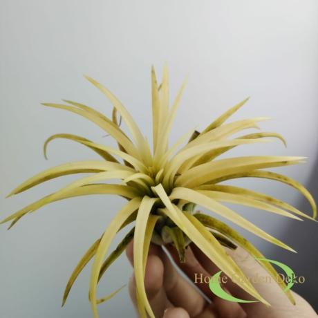 Tillandsia ionantha sárga