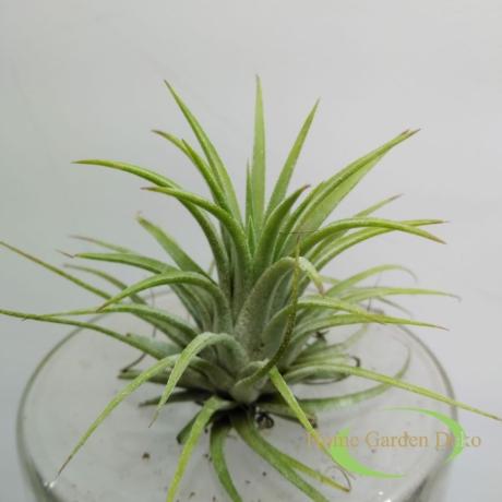 Tillandsia ionantha zöld
