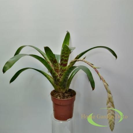 Vriesea Lacy