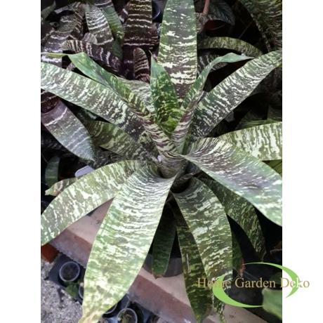 Vriesia gigantea