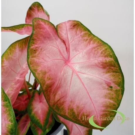 Caladium transparente pink