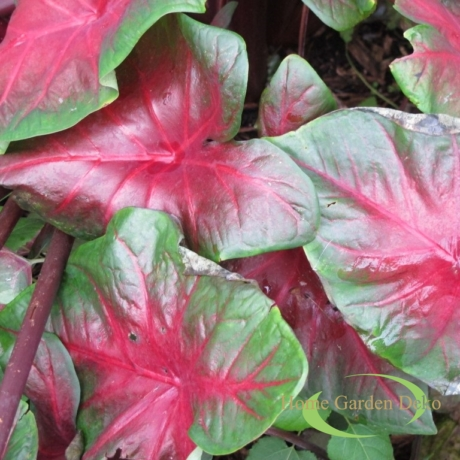Caladium Red-Bellied Tree Frog