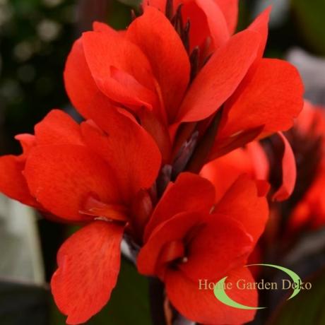 Canna Scarlet Bronze