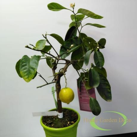Citrus Latifolia