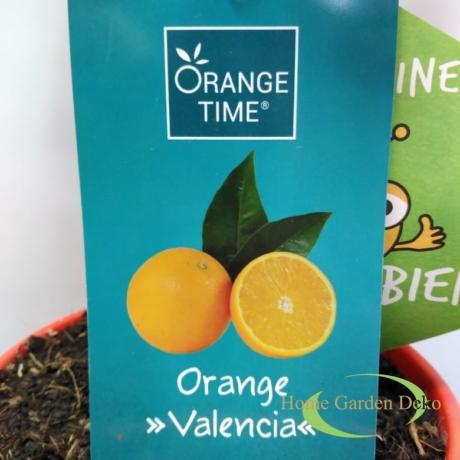 Citrus Sinensis Valencia