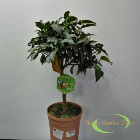 Fortunella Margarita (kumquat) (Törpemandarin)