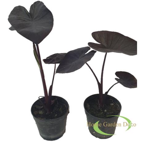 Colocasia cona coffee
