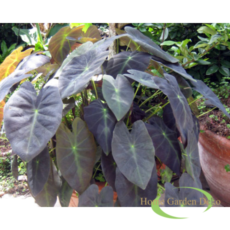 Colocasia antiquorum Black Beauty