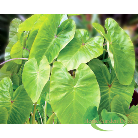 Colocasia esculenta Royal Hawaiian Maui Gold
