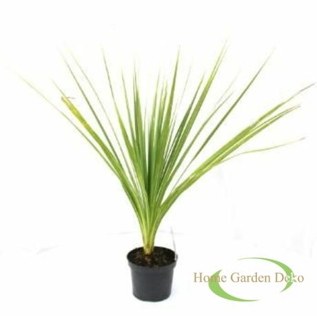 Cordyline australis Green
