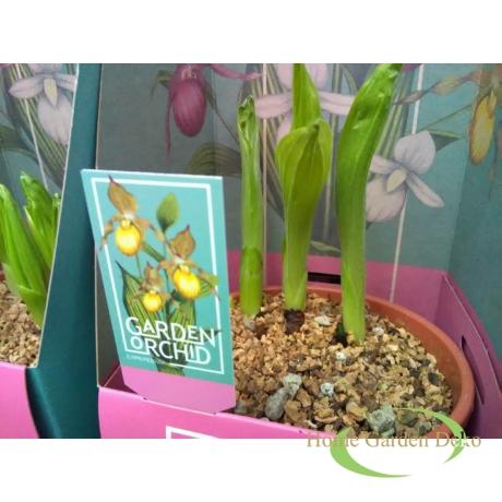 Cypripedium sárga
