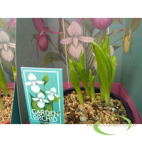 Cypripedium fehér