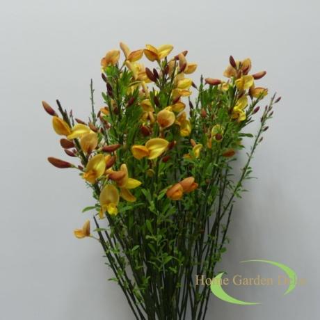 Cytisus praecox Allgold