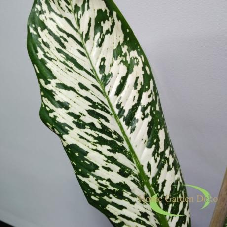 Dieffenbachia white etna