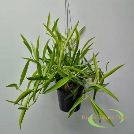 Dischidia phillipinensis