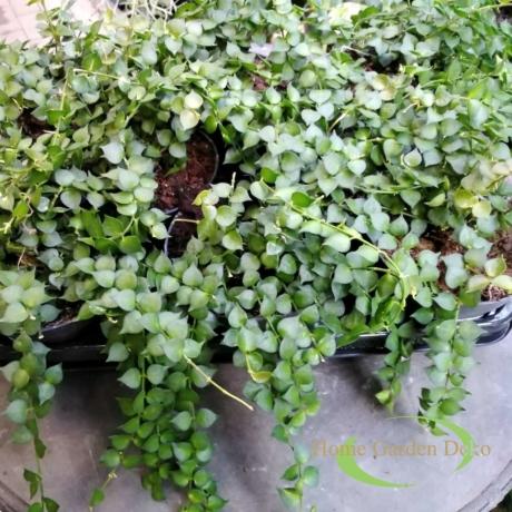 Dischidia ruscifolia Million Hearts