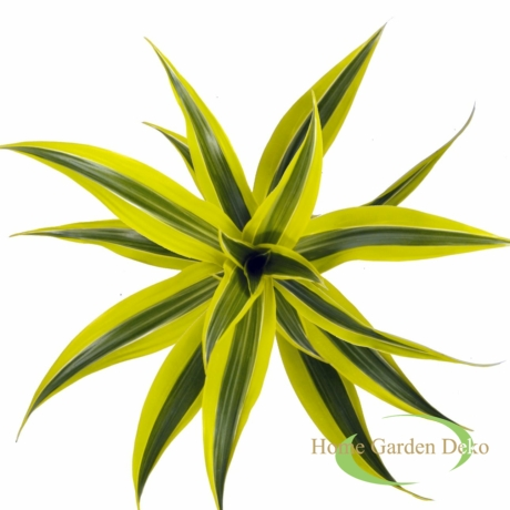 Dracaena Lemon Lime
