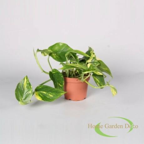 Epipremnum pinnatum aureum