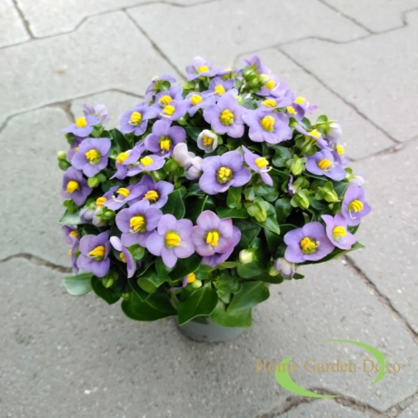 Exacum lila