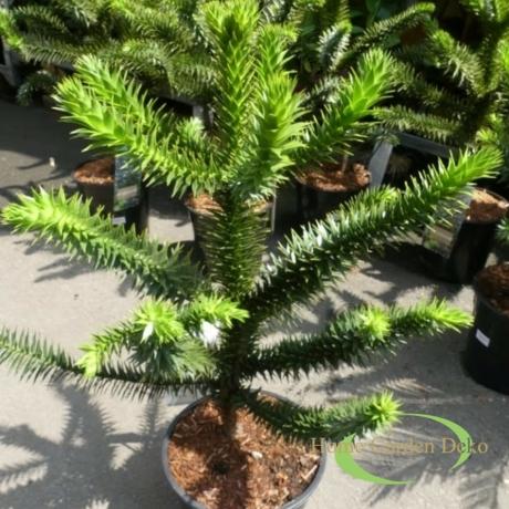 Araucaria araucana / Chilei araukária