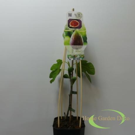 Ficus Carica Bornholn